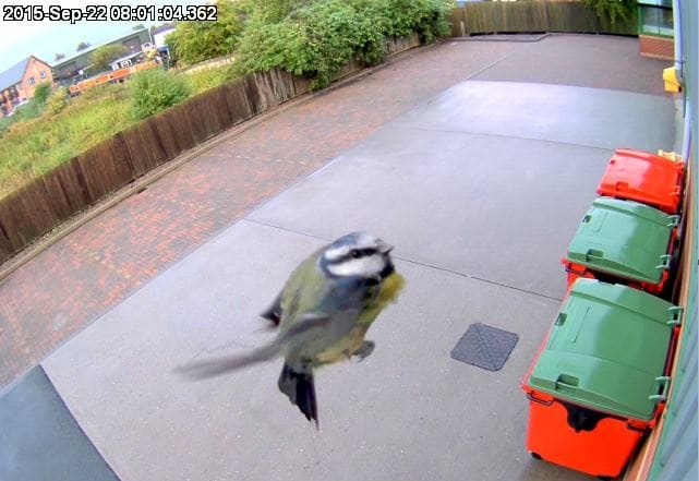 Blue Tit in Flight caught on camera